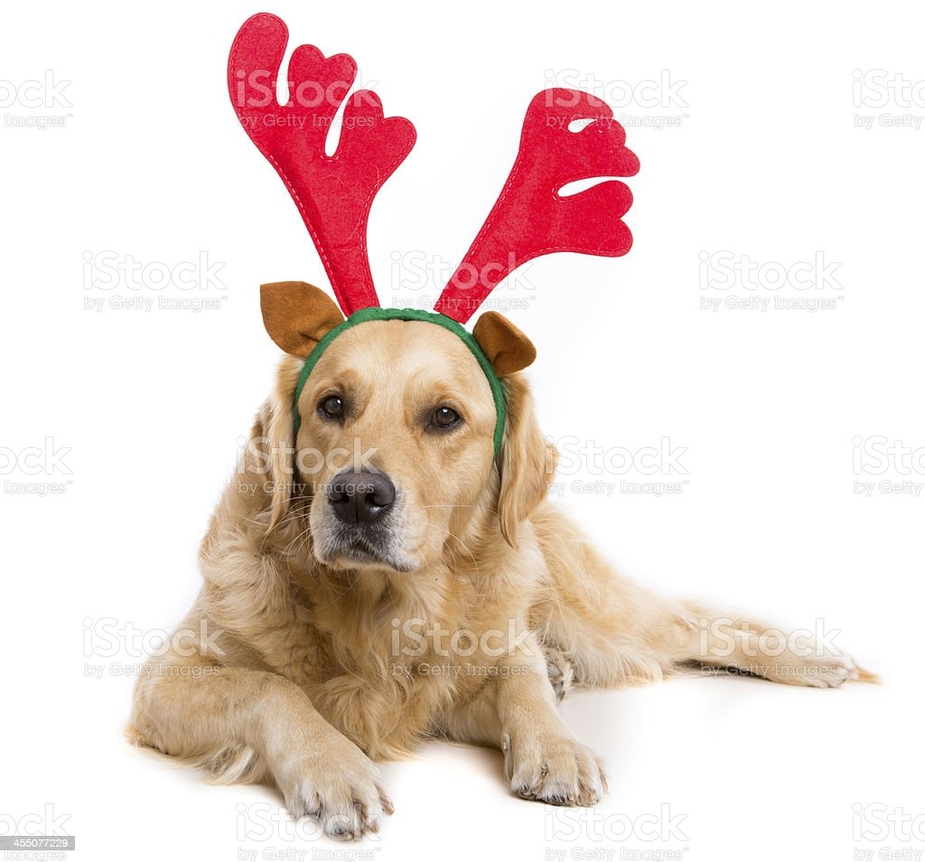 Golden Retreiver Dog with Reindeer Antlers stock photo