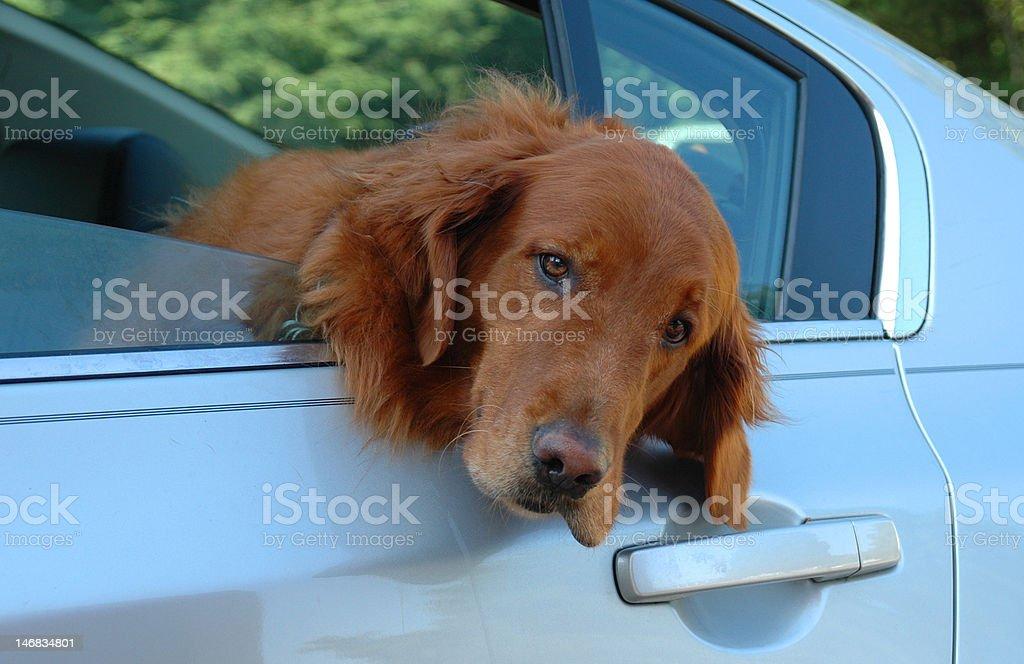 Golden Retreiver in Car stock photo