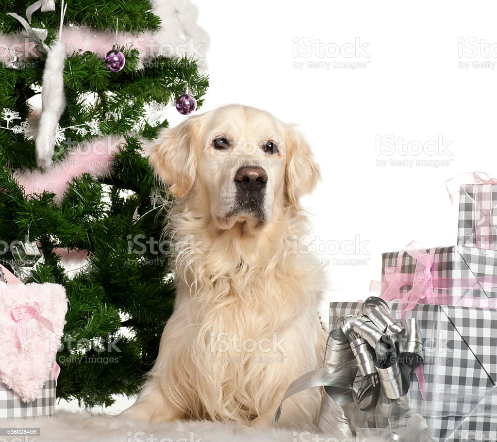 Golden Retriever, 8 years old, lying with Christmas gifts stock photo