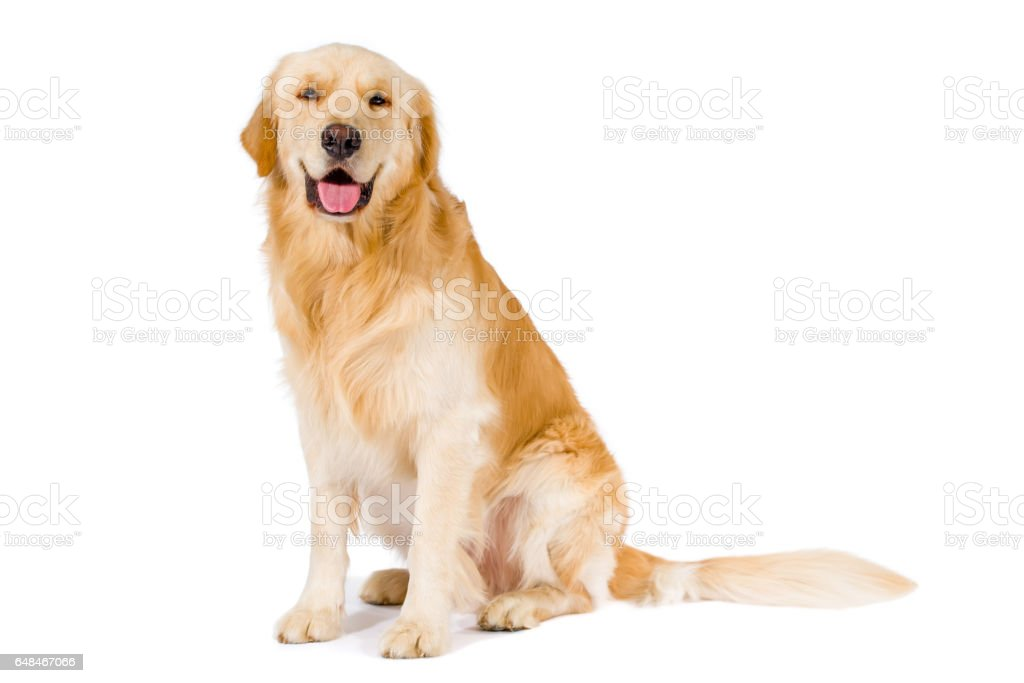 Golden Retriever adult sitting smiling at camera isolated on white stock photo