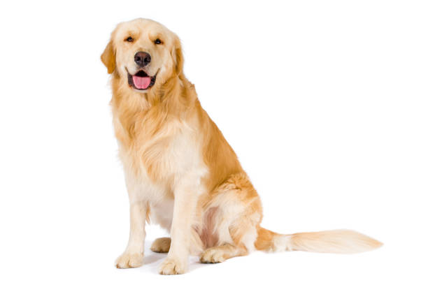 golden retriever adult sitting smiling at camera isolated on white - golden retriever stock photos and pictures