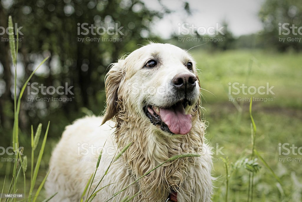 Golden Retriever, after swimming. royalty-free stock photo