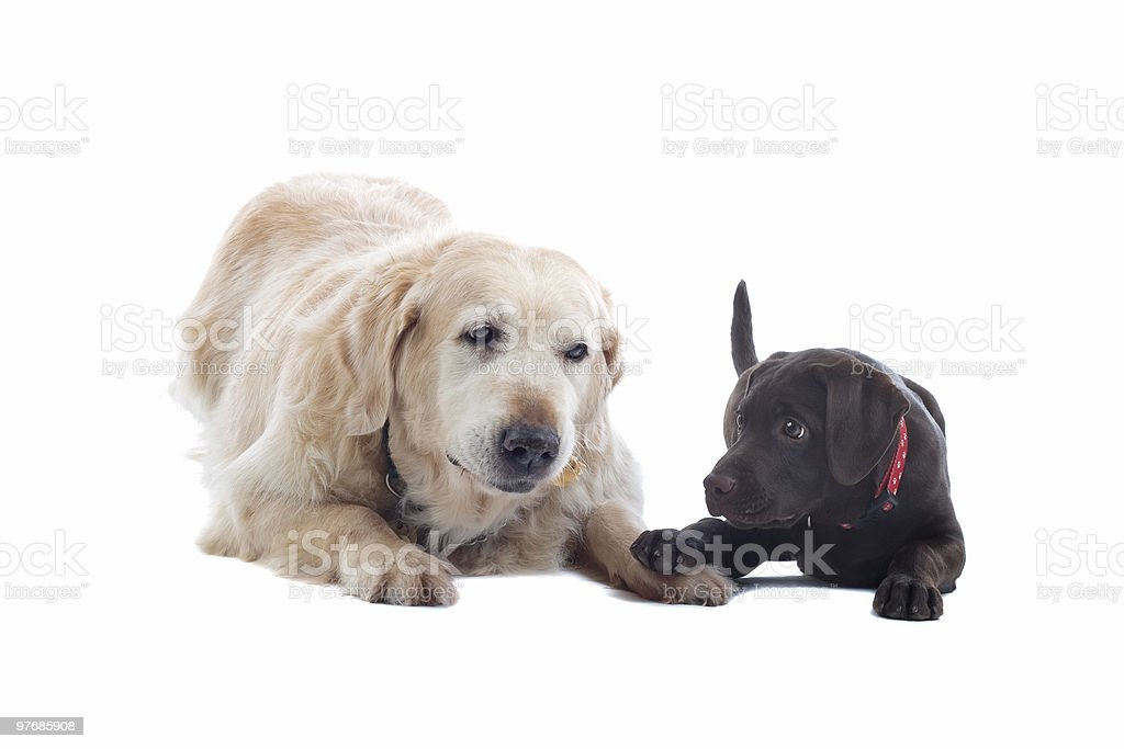 golden retriever et un chiot Labrador chocolat - Photo