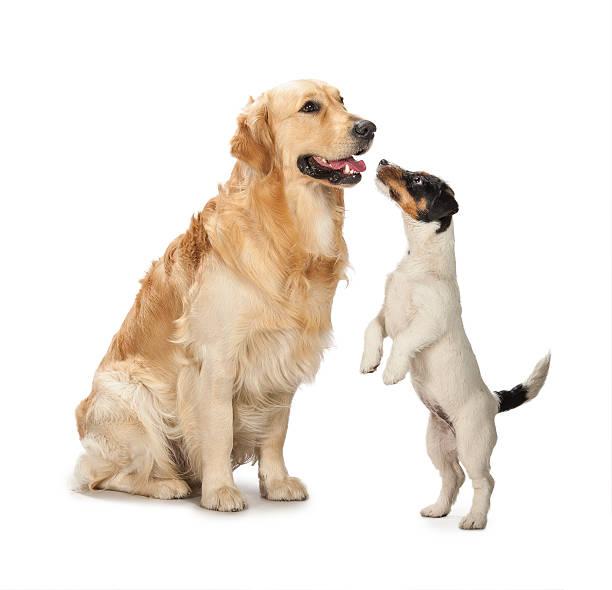 Golden retriever und ein jack russell terrier Welpe – Foto