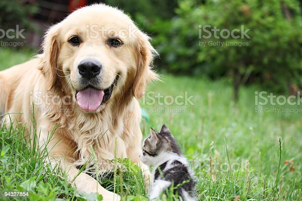 Golden retriever and a small kitten outdoor picture id94327854?b=1&k=6&m=94327854&s=612x612&h=9rm4adhorl1sj1kpe1o8y 2z5jupnpdnkg6uj ja4yg=