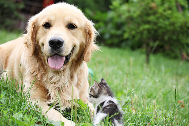 Golden retriever and a small kitten outdoor picture id94327854?b=1&k=6&m=94327854&s=612x612&w=0&h=iyf0jurips8x8e4mpme1jfexd67v4uickycenpykeku=