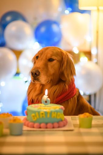 Amazing Golden Retriever And Birthday Cake Stock Photo Download Image Funny Birthday Cards Online Alyptdamsfinfo