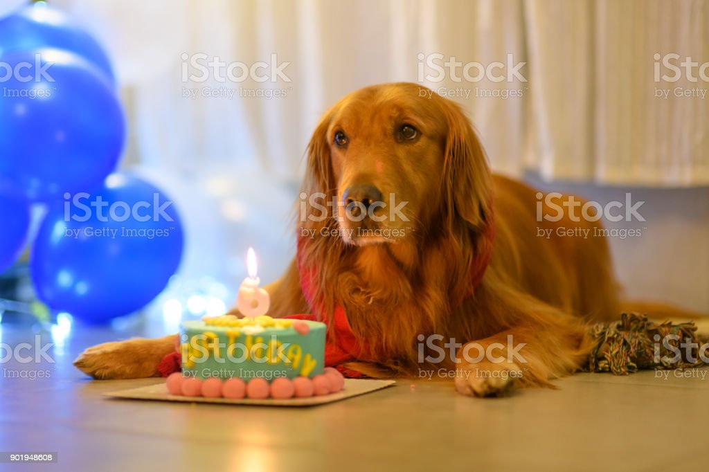 Awesome Golden Retriever And Birthday Cake Stock Photo Download Image Funny Birthday Cards Online Alyptdamsfinfo