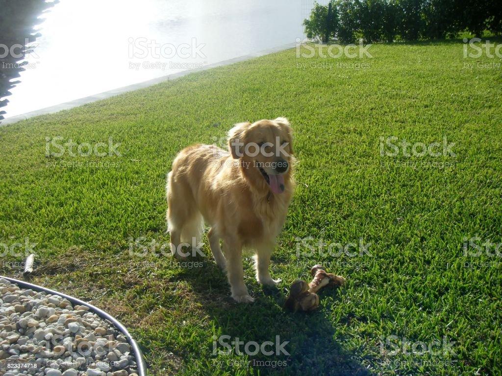 golden retriever and bone stock photo