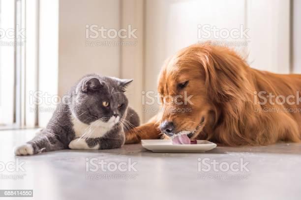 Golden retriever and british cat lying on the floor to eat picture id688414550?b=1&k=6&m=688414550&s=612x612&h=lee0vk6dnz2  3orh mvbuasqbh4rnj3rkg2hapkgpi=
