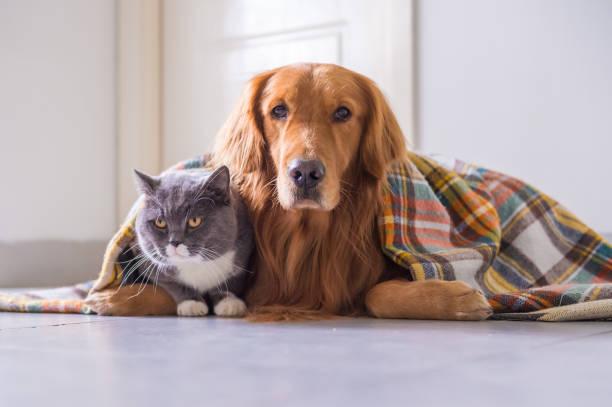 Golden retriever and British cat – zdjęcie