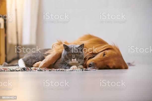 Golden retriever and british short cat picture id885964624?b=1&k=6&m=885964624&s=612x612&h=wocx6k2o5aatkg c402eoyrn1rkxf4cthz hhn6 xca=