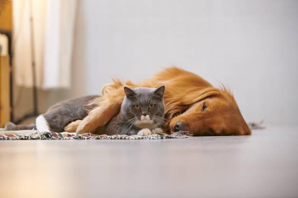 Golden retriever and british short cat picture id885964624?b=1&k=6&m=885964624&s=612x612&w=0&h=am4hbjr5ykhft3btmvhhst93k2s7keoucwwiqbnn1ye=