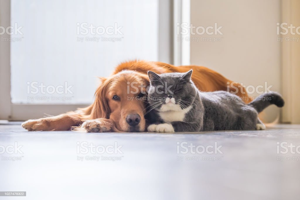 Golden retriever and British short hair cat foto stock royalty-free