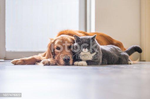 istock Golden retriever and British short hair cat 1027475322