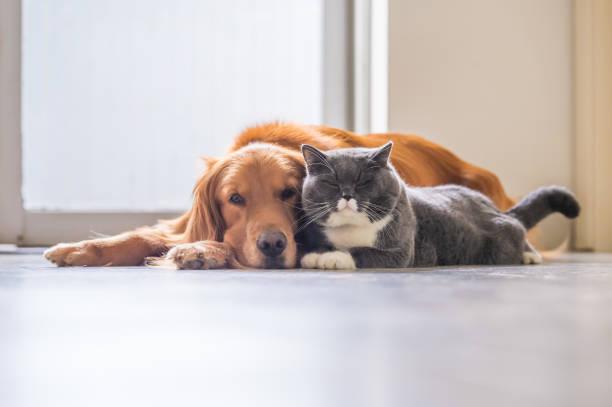 golden retriever y gato británico de pelo corto - mascota fotografías e imágenes de stock