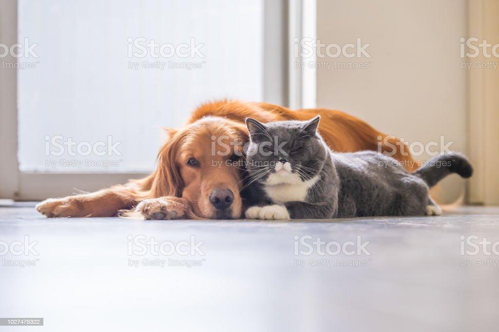 Golden retriever and British short hair cat stock photo