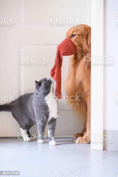 Golden retriever and british short hair cat picture id902424546?b=1&k=6&m=902424546&s=612x612&h=e  yrnkftrafkdz2vl 2bgag9q1se qjaaevazwnk e=