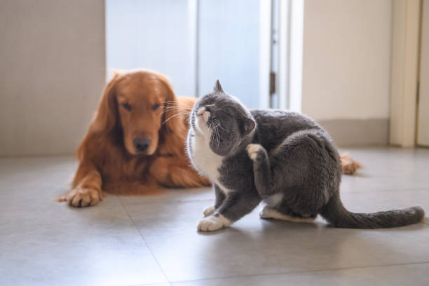 golden retriever and british short hair cat - scratching stock photos and pictures