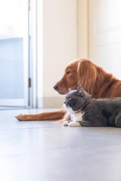 Retriever dourado e britânicos curto gato peludo - foto de acervo