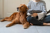 istock Golden Retriever and British Shorthair accompany their owner 1289859249