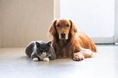 Golden Retriever and British Shorthair are friendly