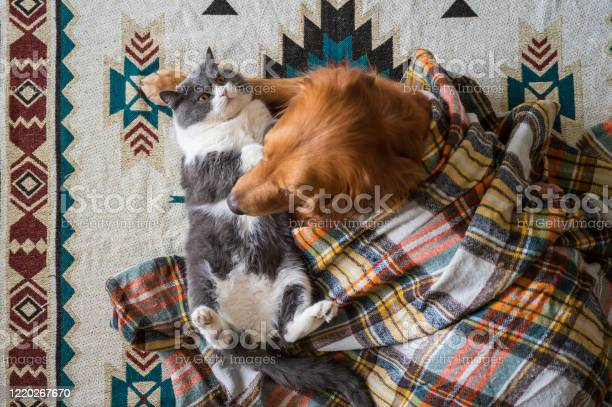 Golden retriever and british shorthair cat hug under blanket picture id1220267670?b=1&k=6&m=1220267670&s=612x612&h=wulxfh57mzfivfsmp1nqhtw1eerm4od0cuykbq3nvlq=