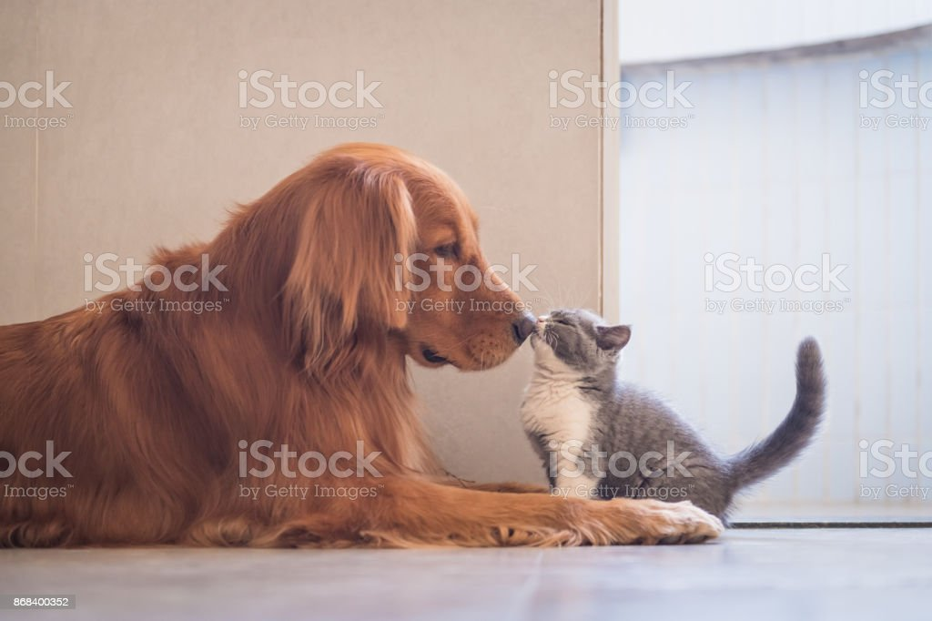 Golden Retriever e britânicos gato de curto foto royalty-free