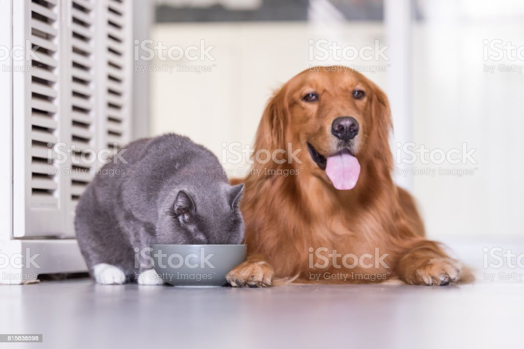 Golden Retriever And British Shorthair Cats Are Eating Stock