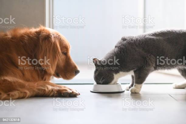 Golden retriever and british shorthair cats are eating picture id942132618?b=1&k=6&m=942132618&s=612x612&h=behj0xcbime7gkr99ugjugwrorlas21xylz8eamhybk=