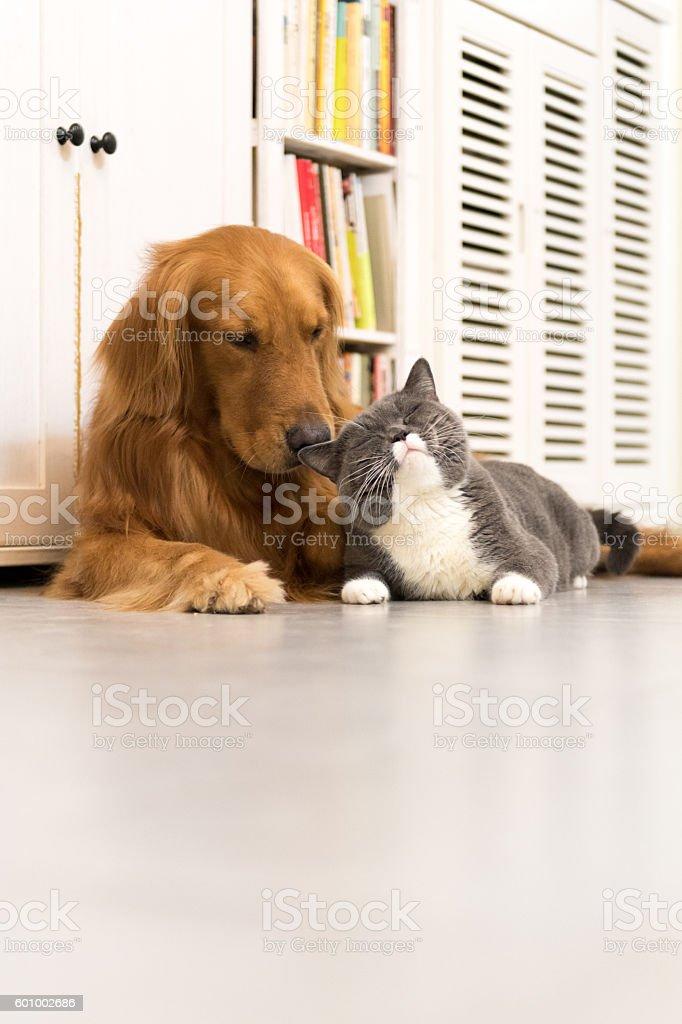 Labrador Dourado e britânicos de pêlo curto - foto de acervo