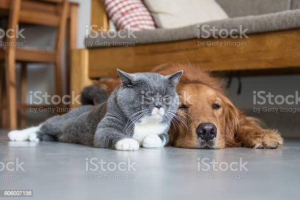 Golden retriever and british shorthair picture id606007138?b=1&k=6&m=606007138&s=612x612&h=mkoih4v5xjieshjtrjgp1lrj emuftvnrzzqz0vmz8q=