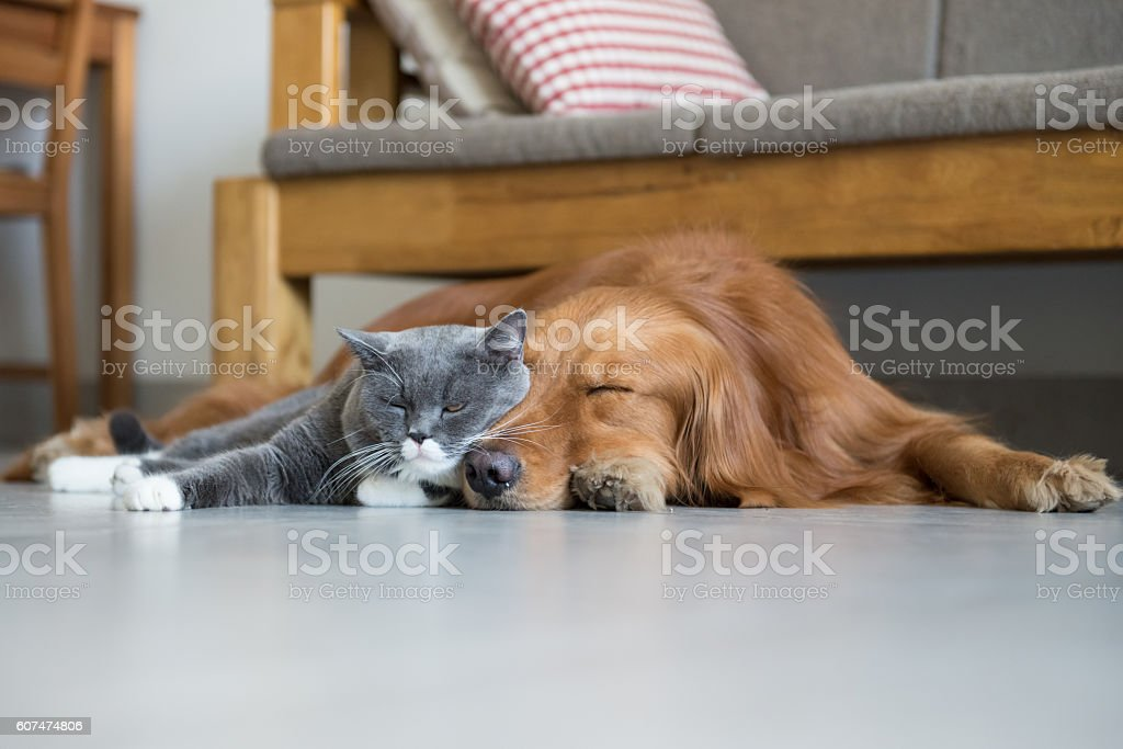 Golden Retriever and British Shorthair stock photo