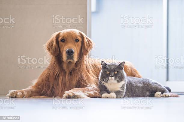 Golden retriever and british shorthair picture id637683884?b=1&k=6&m=637683884&s=612x612&h=yb3y52bc4vltuia9irbev68rhq5hsy5d9 opfir5t9y=