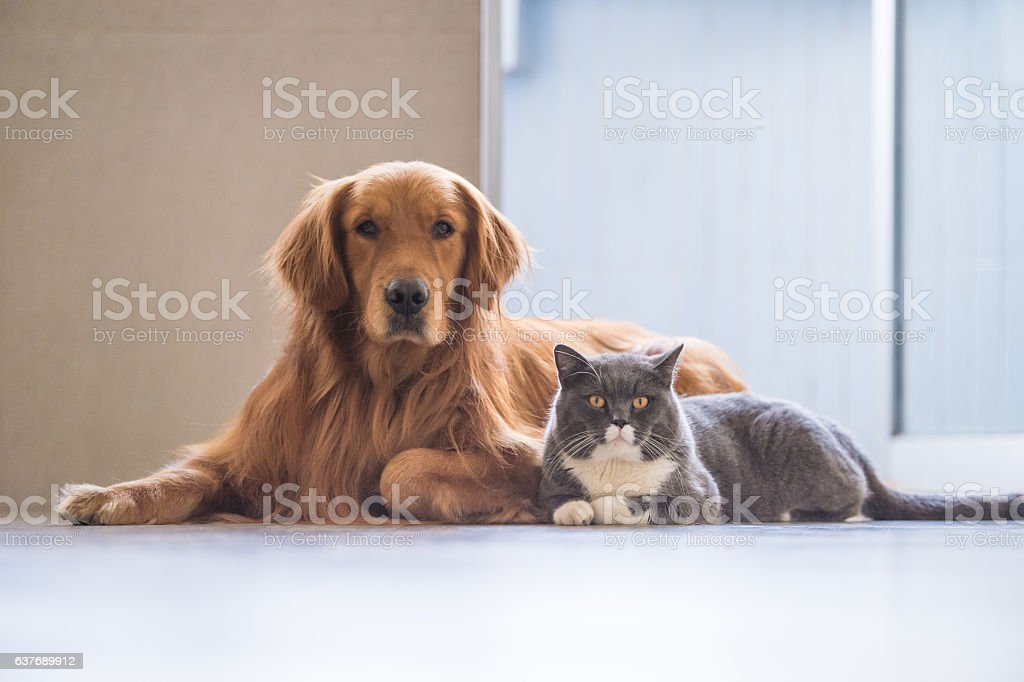 Labrador Dourado e britânicos de pêlo curto foto royalty-free