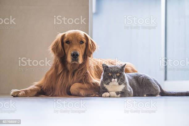 Golden retriever and british shorthair picture id637689912?b=1&k=6&m=637689912&s=612x612&h=rudxnbppulvnr6klyobralbx9c3plshfl2agixklddi=
