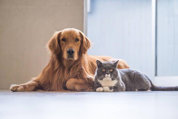 Golden Apportierhund und britische Kurzhaar – Foto