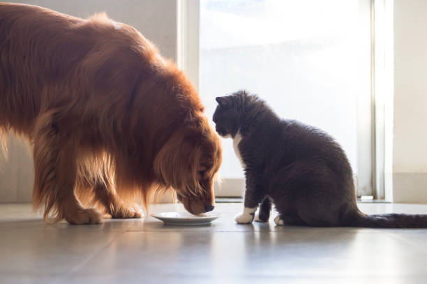 Golden retriever and british shorthair share food picture id1160715012?b=1&k=6&m=1160715012&s=612x612&w=0&h=uyrfxstjqykoeozbix1ilrunqv i7bqzjzq59mp4xba=