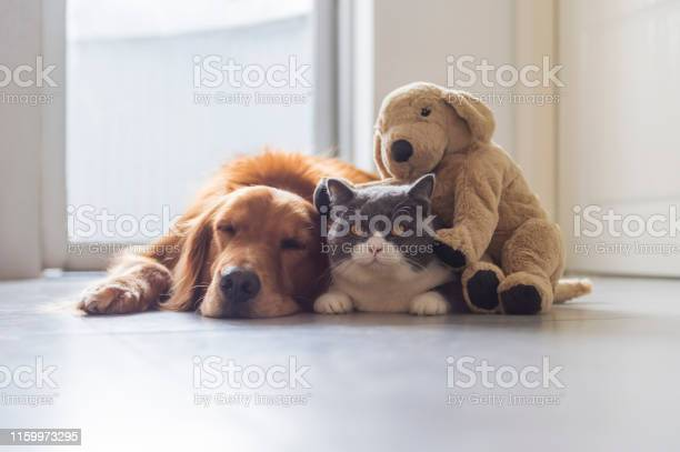 Golden retriever and cat and plush toy puppy together picture id1159973295?b=1&k=6&m=1159973295&s=612x612&h=oude69fzoj0dgfz7aht48 60y8dg55qx pzvvbwrgz4=