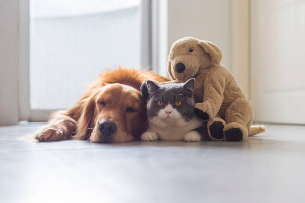 Golden retriever and cat and plush toy puppy together picture id1159973295?b=1&k=6&m=1159973295&s=612x612&w=0&h=sr1spukmkrxaufai3k4ctbvftupb1lgegpqnmzs rte=
