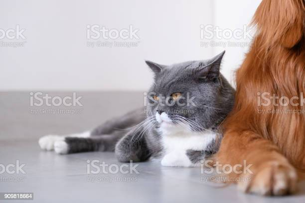 Golden retriever and cat picture id909818664?b=1&k=6&m=909818664&s=612x612&h=tbw09yedgbdbip4kh6kfoam2ga76qmpanqs0c5xj8om=