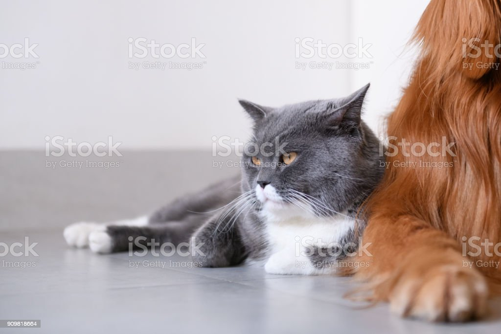 Gato e golden Retriever - foto de acervo