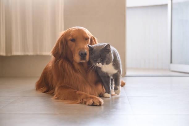 Gato e golden Retriever - foto de acervo