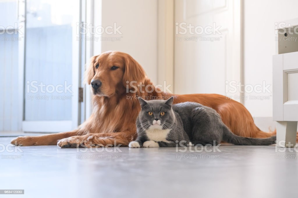 Golden Retriever and Cat - Zbiór zdjęć royalty-free (Bez ludzi)