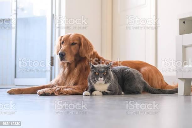 Golden Retriever I Kot - zdjęcia stockowe i więcej obrazów Bez ludzi