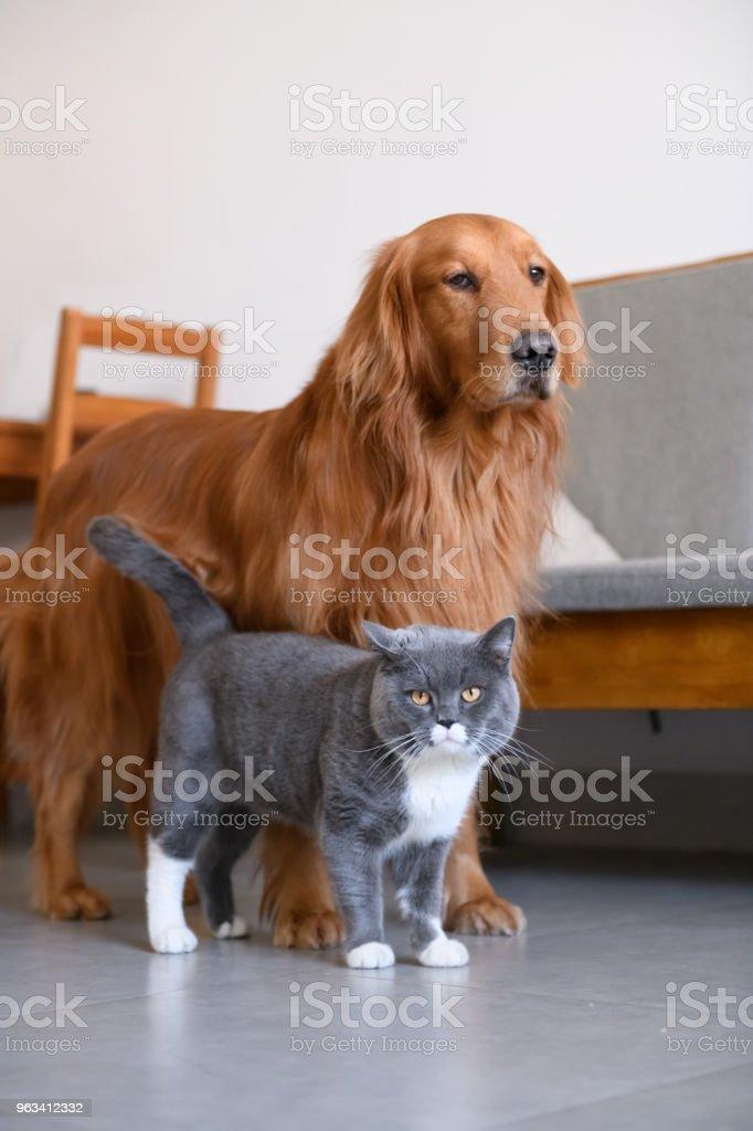 Golden Retriever and Cat - Zbiór zdjęć royalty-free (Bez ludzi)