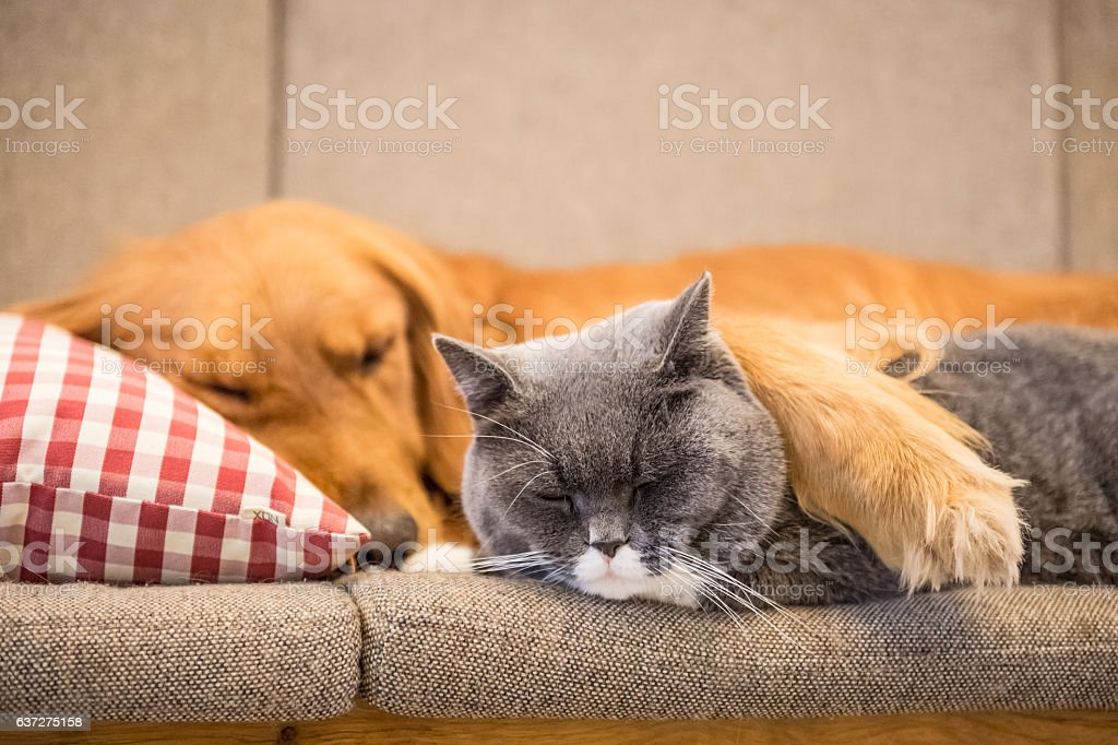 Golden retriever and cat sleep on the couch - foto de acervo