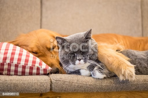 Golden Retriever And Cat Sleep On The Couch Stock Photo More