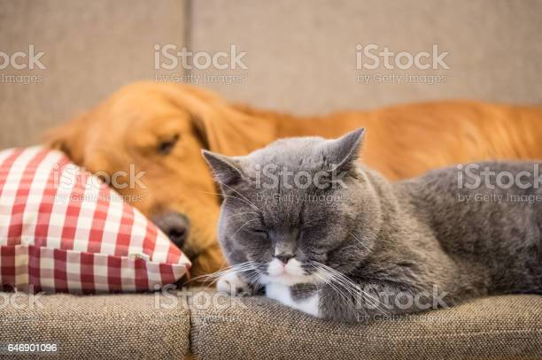 Golden retriever and cat sleep on the couch picture id646901096?b=1&k=6&m=646901096&s=612x612&h=9jrmxw7ynu4lem3l9nec9fgb2 nn1fygzz xidytdcg=
