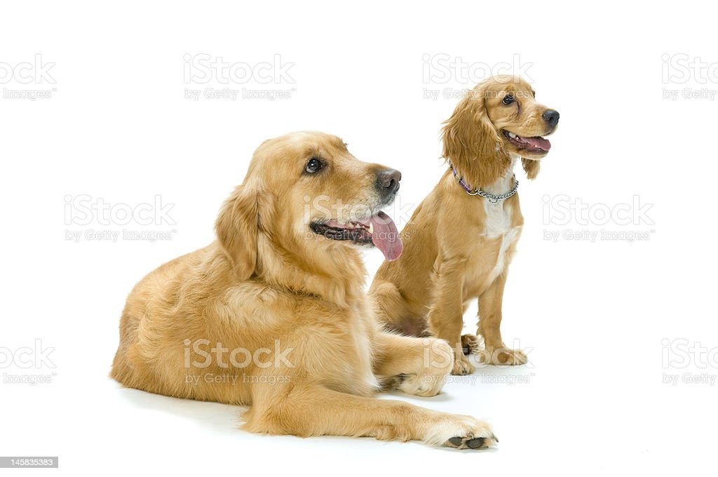 Golden Retriever and Cocker Spaniel Together royalty-free stock photo